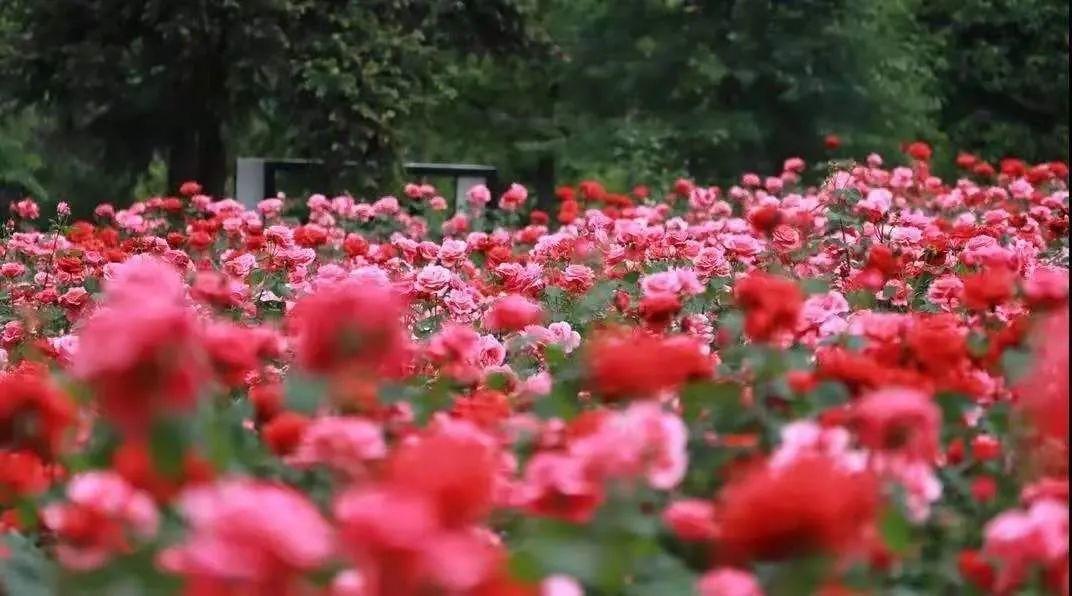 来!漫步畲乡,邂逅浪漫的玫瑰花海吧~