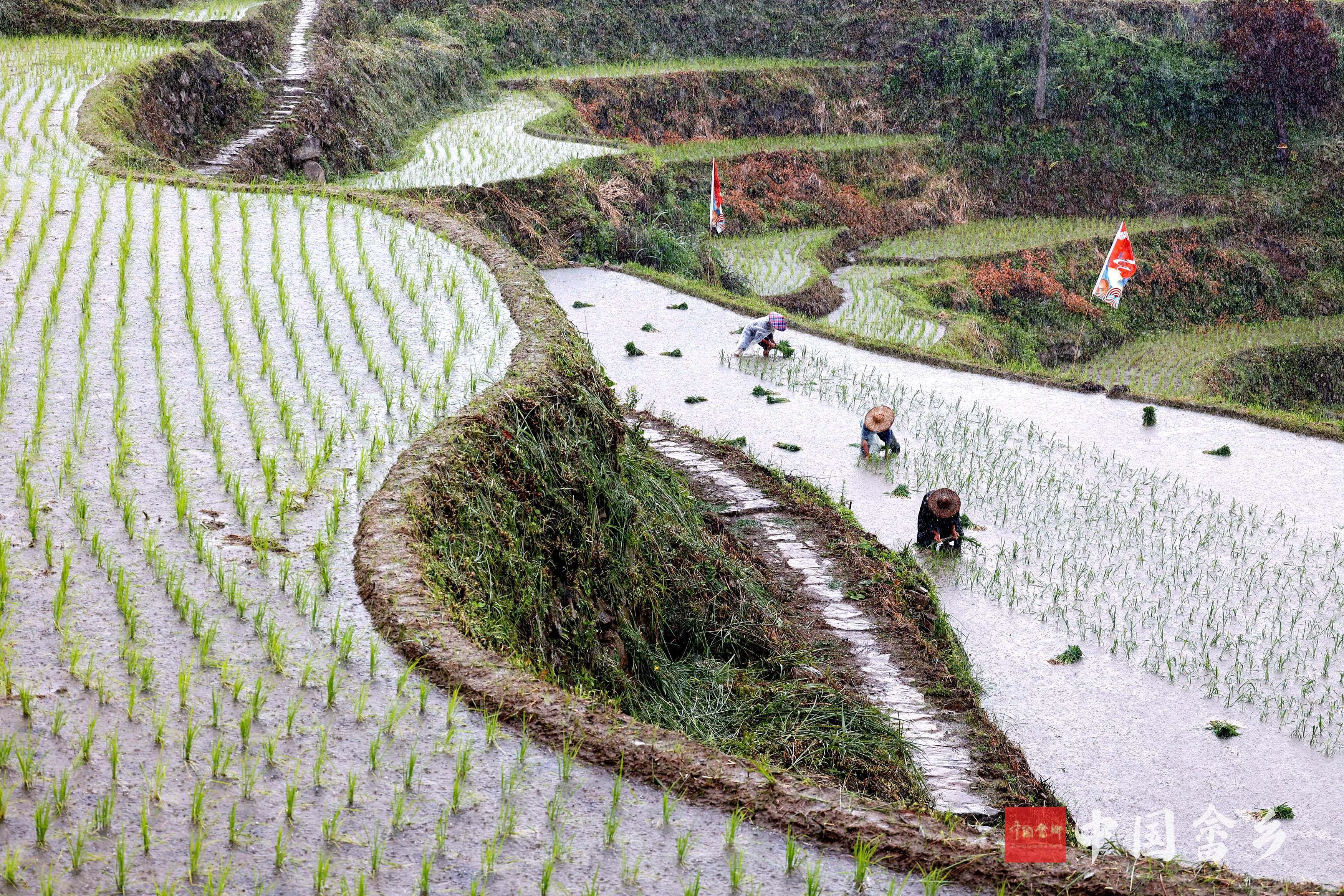 景宁:雨中抢种杂交稻